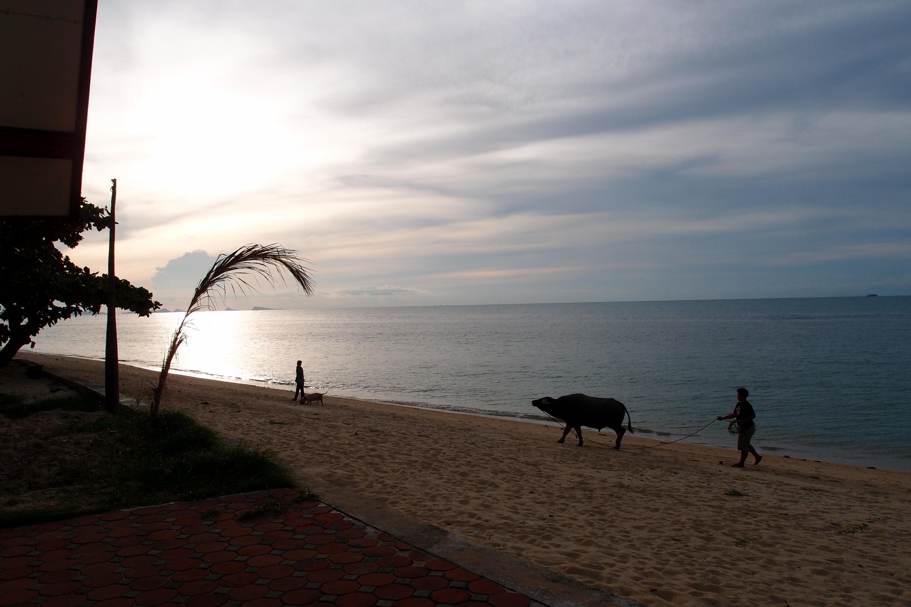 Beach Buffalo Koh Samui
